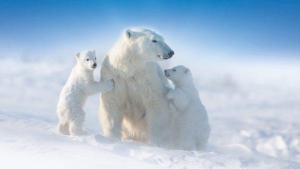 isbjørnemoder med 2 unger i sneen