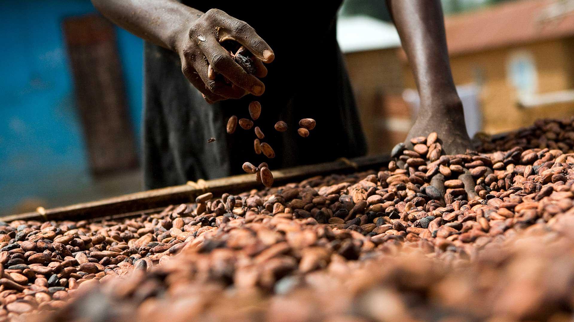 kakaobønde roder i kakaobønner med sløret baggrund