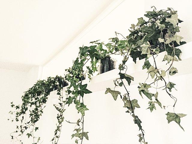 En hvid væg og hylde, hvorpå der står fem Efeu-planter.